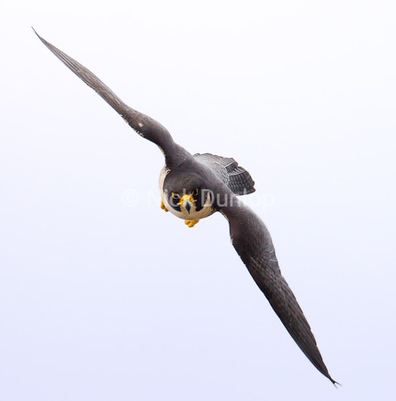 Clara 2   The San Jose City Female Peregrine