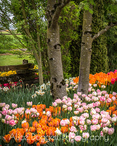 Trees Among the Tulips