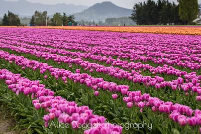 Skagit Valley Tulip Festival 07, Mt. Vernon, WA