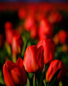 Tulip Beauty In Skagit Valley