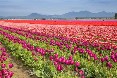 Skagit Valley Tulip Festival 02, Mt. Vernon, WA
