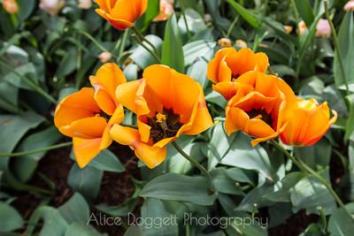 Skagit Valley Tulip Festival 04, Mt. Vernon, WA