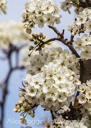 Pear Blossoms, Bend, OR