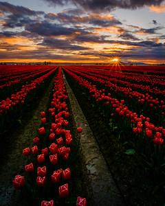 Tulip Beauty At Sunset - vertical