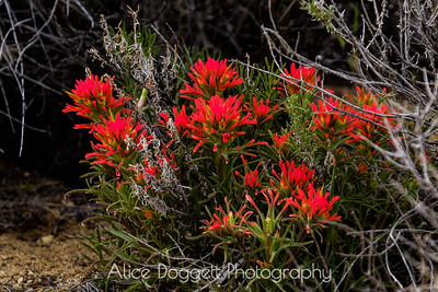 Indian Paintbrush, Fort Rock State Park, Oregon