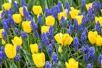 Skagit Valley Tulip Festival 12, Mt. Vernon, WA