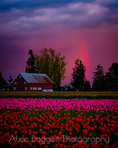 Tulips and Rainbows