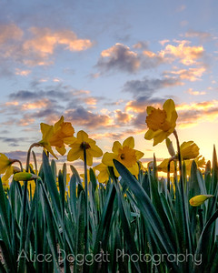 Daffodils In The Trenches, Skagit Valley, Mt. Vernon, WA (Vertical)