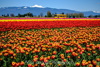 Tulips and Mountains
