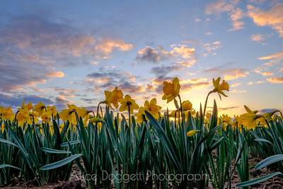Daffodils In The Trenches, Skagit Valley, Mt. Vernon, WA