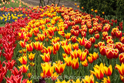 Skagit Valley Tulip Festival 13, Mt. Vernon, WA