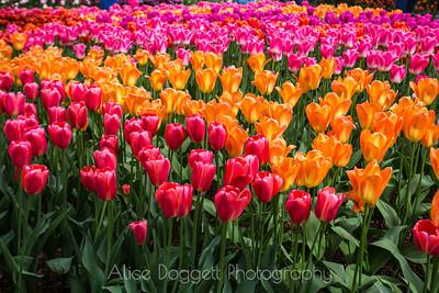 Skagit Valley Tulip Festival 06, Mt. Vernon, WA
