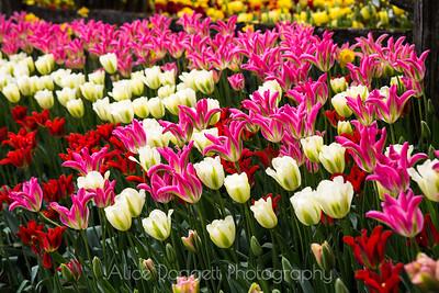 Skagit Valley Tulip Festival 11, Mt. Vernon, WA