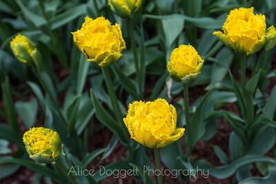 Skagit Valley Tulip Festival 10, Mt. Vernon, WA