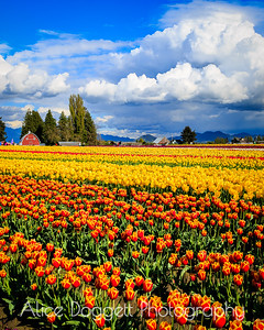 Clouds Above the Tulip Fields