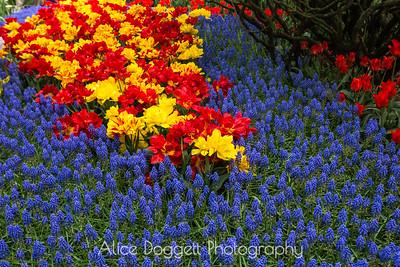 Skagit Valley Tulip Festival 01, Mt. Vernon, WA