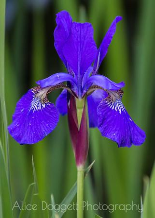 Iris Vertical