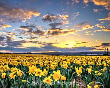 Golden Beauty, Skagit Valley, Mt. Vernon, WA