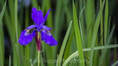Iris Horizontal