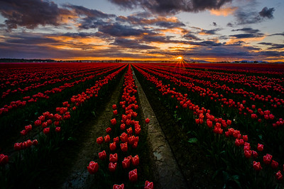 Tulip Beauty At Sunset