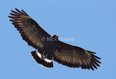 With exception of this Black Hawk, most live in the southwest. This misplaced bird lives near my home in Northern California and is mated with a Red-Shoulder Hawk.