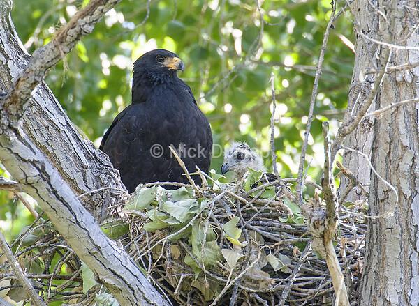 Texas Black Hawk Nest
