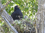 Texas Black Hawk Nest