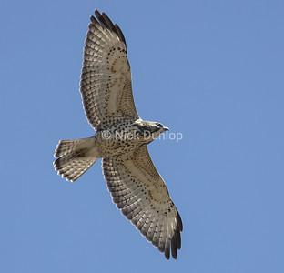 Broad Wing Hawk 4