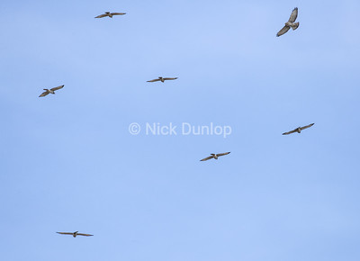 Broad Wing Hawk flock; there were 10 birds here but I could only get 6 in the photo