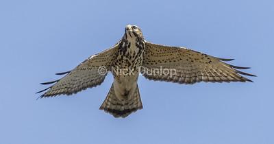 Broad Wing Hawk 6