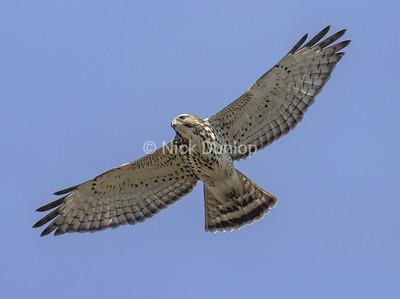 Broad Wing Hawk 5