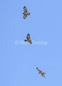 Broadwing Hawk Trio