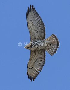 Broadwing Hawk 1