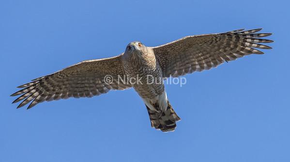 Adult Cooper's hawk 2