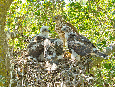 Another Coopers Hawk Nest Image. Taken with a remote camera fired from the ground.