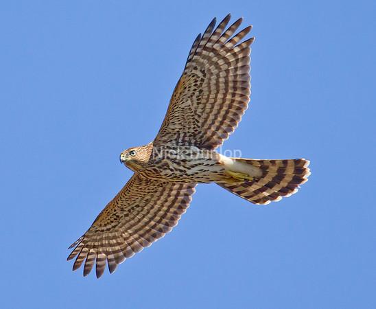 Immature Coopers Hawk Sept 2012<br /> Marin Headlands
