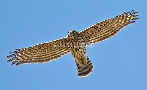 Immature Coopers Hawk<br /> Marin Hedlands September 2012
