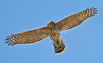 Immature Coopers Hawk<br /> Marin Hedlands September 2012