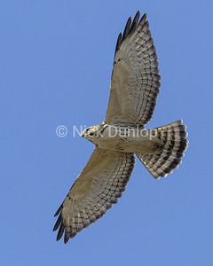 Broadwing Hawk 2