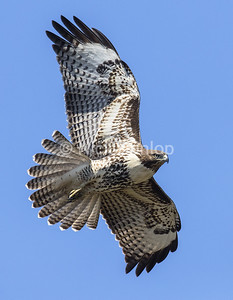 Immature Red Tail Hawk 7