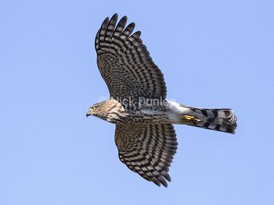 Immature Cooper's Hawk 4