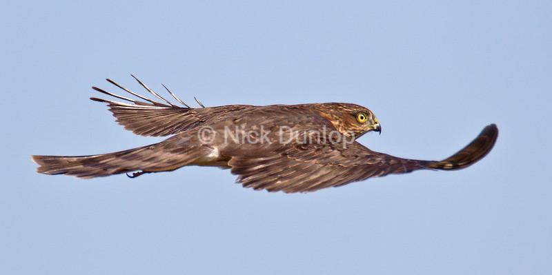 Goshawks and Sharp Shinned Hawks