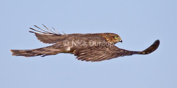Sharp Shinned Hawk<br /> Marin Headlands<br /> September 2012
