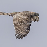 Immature Sharp Shinned Hawk 1