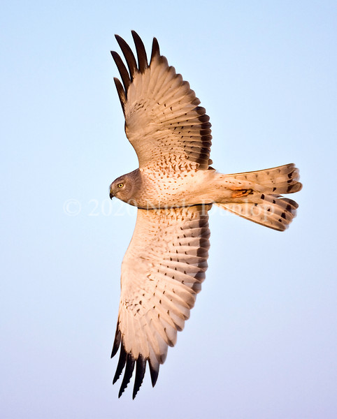 Male Harrier at first light