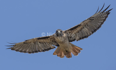 Adult Red Tail Hawk 1