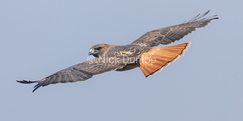 Adult Red Tail Hawk 3
