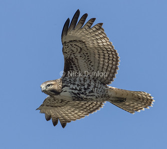 Immature Red Tail Hawk 14