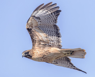 Adult Red Tail Hawk 5