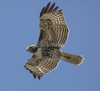 Immature Red Tail Hawk 8